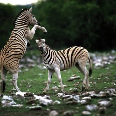 Safari-Paparazzi: Wildlife pur